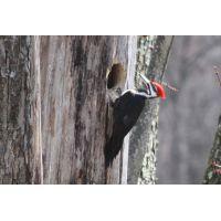 Woodpecker 3a