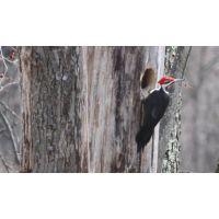 Woodpecker 4a