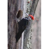 Woodpecker 5a